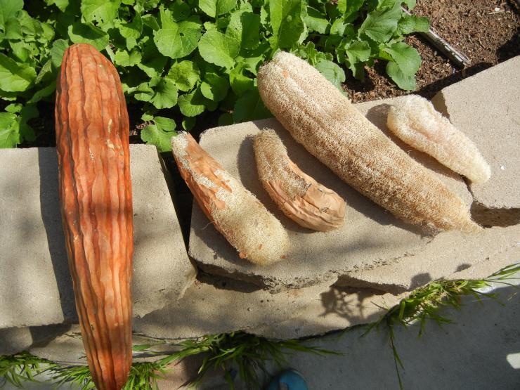 вырастить мочалку на огороде